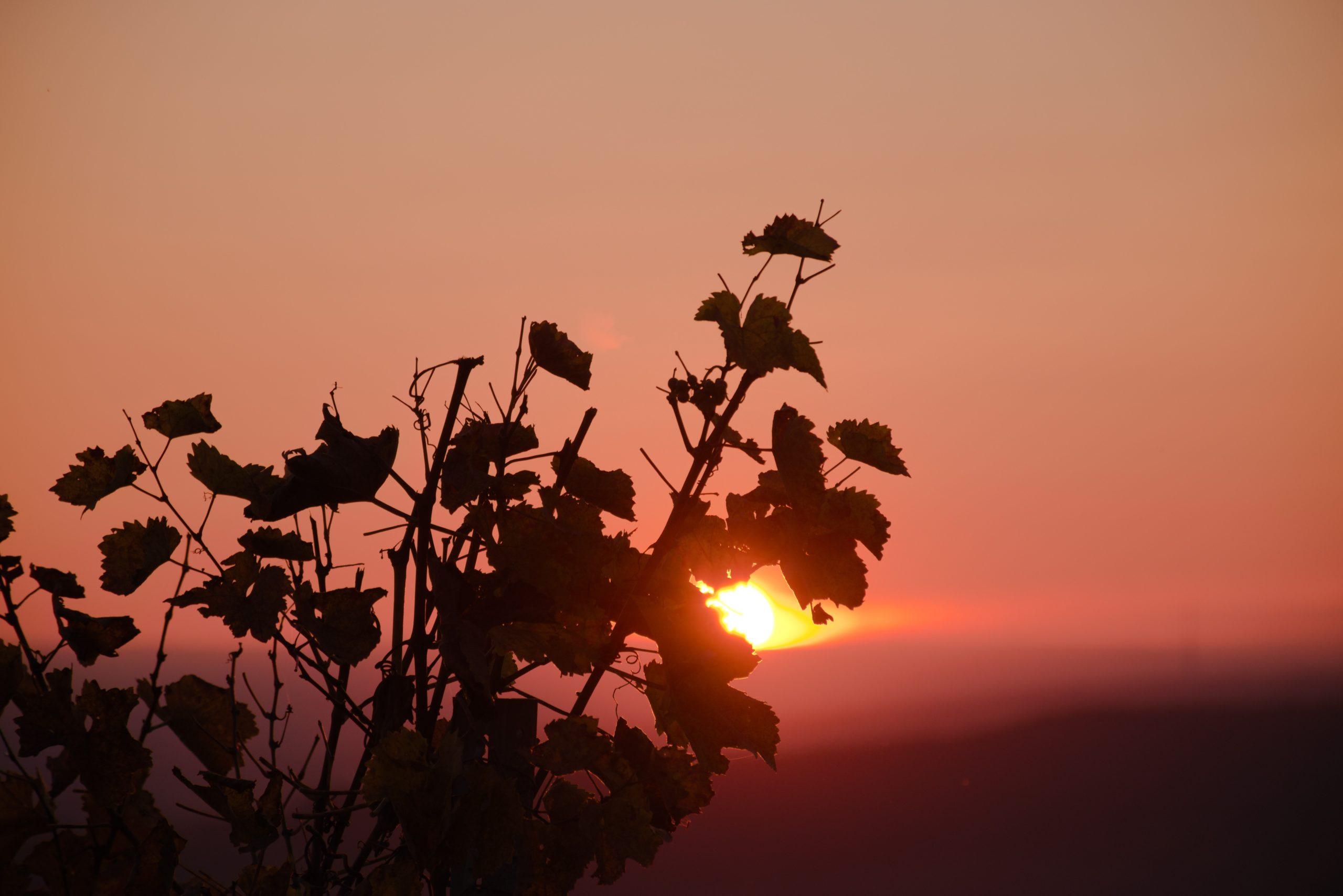 couché de soleil vigne